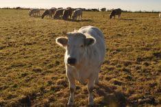 chouffe-cow